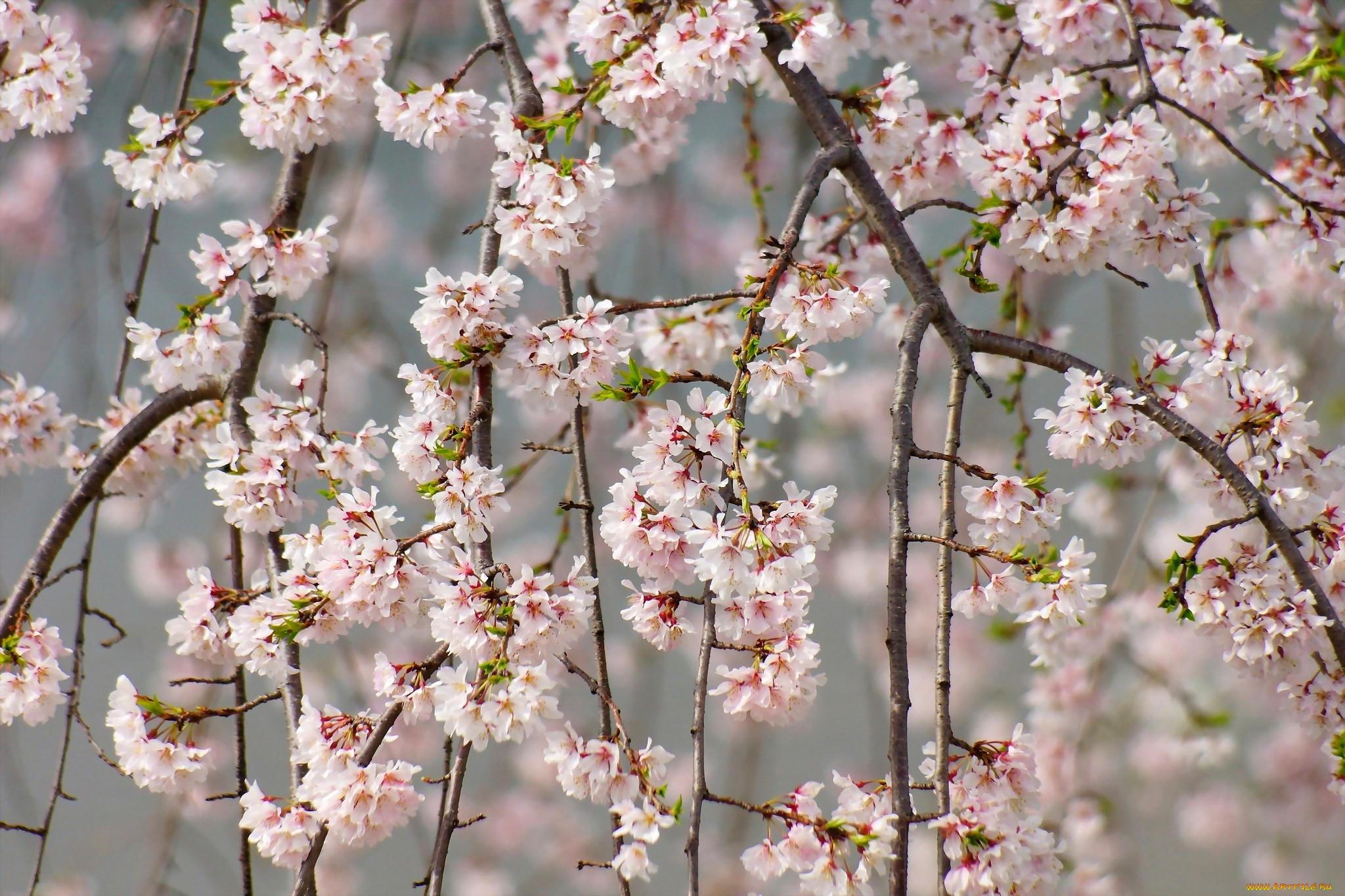 фото цветущих веток вишни дома